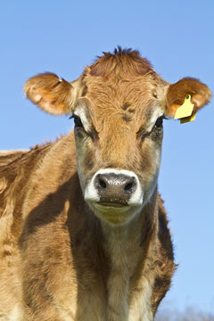 a jersey dairy cow